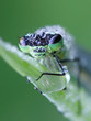 Leinwanddruck Bild - Northern damselfly or spearhead bluet, Coenagrion hastulatum