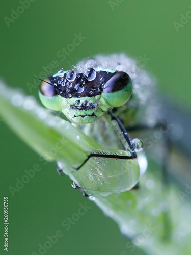 Leinwanddruck Bild Northern damselfly or spearhead bluet, Coenagrion hastulatum