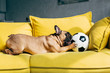 canvas print picture - cute french bulldog playing with football on yellow sofa at home