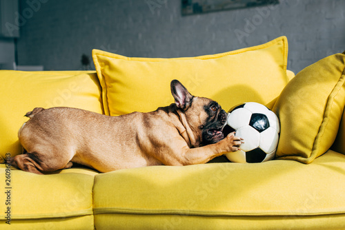 canvas print picture cute french bulldog playing with football on yellow sofa at home