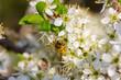 canvas print picture - eine Honigbiene sammelt an weiße Kirschblüten Honig