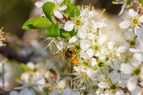 canvas print picture eine Honigbiene sammelt an weiße Kirschblüten Honig