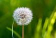 Dry dandelion flower in the steppe in spring