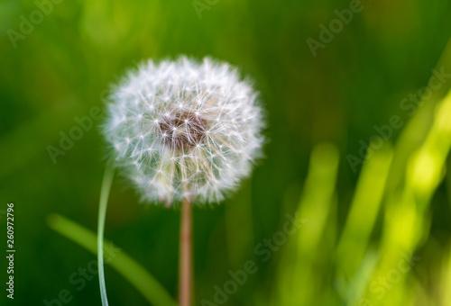 Dry dandelion flower in the steppe in spring - 260972796