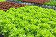 Leinwandbild Motiv Fresh organic green oak lettuce salad plant in hydroponics vegetables farm system