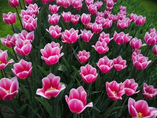 Pink tulips with green background.Colorful tulips with blur background.Close up tulips.Group of tulips flowers.Tulips field in netherlands