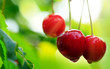 Macro shot on big red cherries. Nature background.