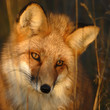 canvas print picture - RENARD ROUX (RED FOX) (VULPES VULPES)