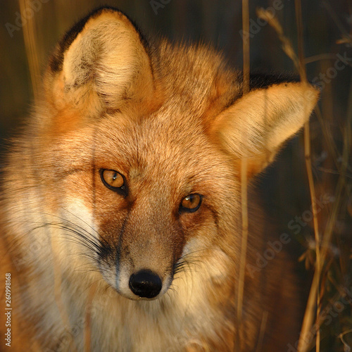 canvas print picture RENARD ROUX (RED FOX) (VULPES VULPES)