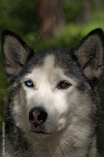 canvas print picture husky dog