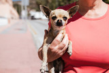 Woman walks with a little Chihuahua dog