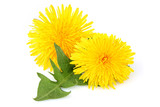 Dandelion flowers with leaf, isolated.