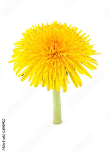 Dandelion officinale flower.