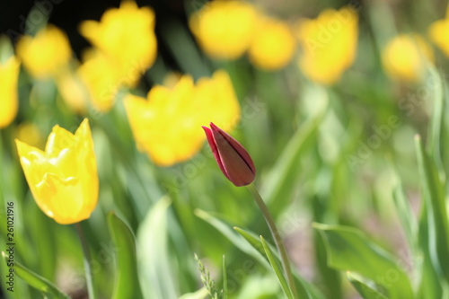 canvas print picture tulips grow in a flower bed on a Sunny day