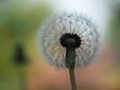 Fluffy Spring Dandelion