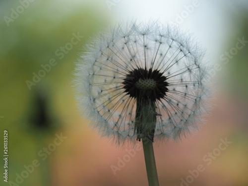 Fluffy Spring Dandelion  - 261033529