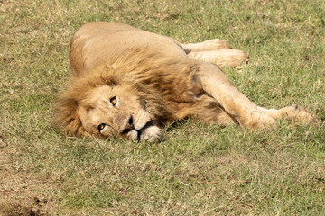 Lion awalkes