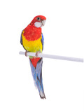 parrot Rosella parrot isolated