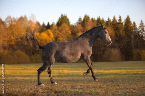 portrait of galloping young grey mare in the field © vprotastchik