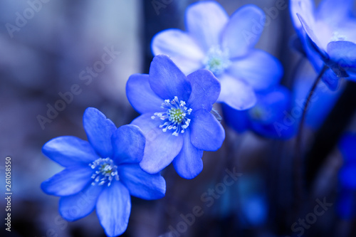 Blaue Blumen - 261058550