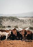 cow longhorn farmer
