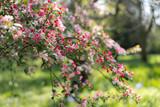 pink cherry flowers in the garden