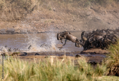 Wildebeests jumping to cross Mara river, Masai Mara, Kenya