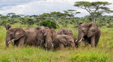 Elephant family on the plains, with green grass in the rainy season, of the Serengeti National Park in Tanzania