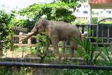 Éléphants avec defenses dans un zooo