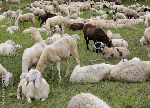 sheep with lambs in the meadow - 261078325