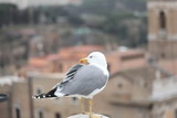 seagull with grey and white plumage in european city