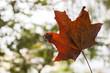 canvas print picture - Herbstblatt im Wald