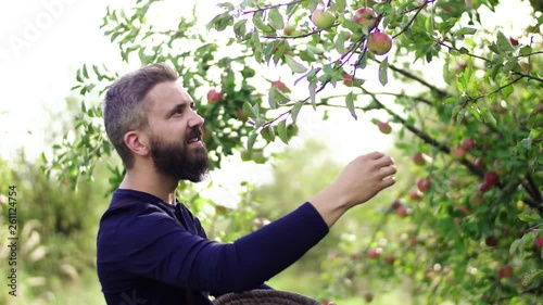 Mature man picking apples in orchard in autumn.