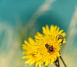 Bee on a Dandelion - 261125967