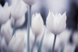 Blurry white tulip flowers background. Selective focus used.