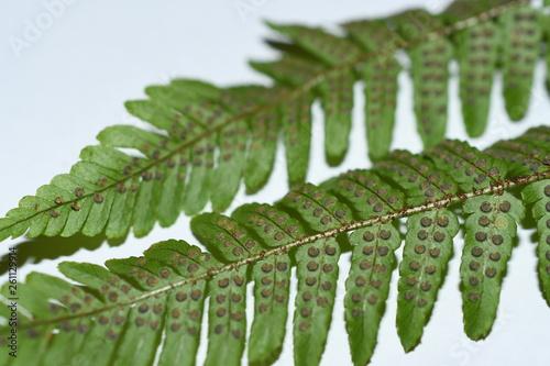 cinnamon fern fronds showing sori