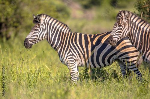 Common Zebra on green savanna - 261134504