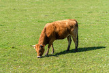 Cow in a pasture in Asturias