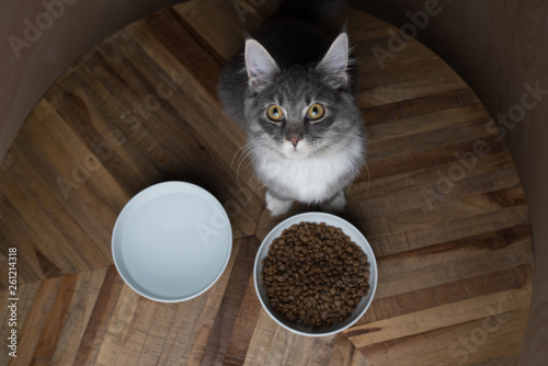 blue tabby maine coon kitten standing in front of cat food dishes looking up at camera