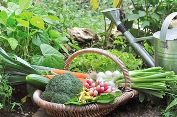 organic vegetables in a wicker basket in a vegetable garden