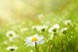 canvas print picture - Frühlingswiese mit Gänseblümchen
