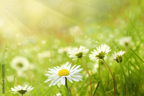 canvas print picture Frühlingswiese mit Gänseblümchen
