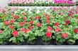 canvas print picture - Blumen in einer Gärtnerei, Pflanzenzucht