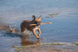 French bulldog running through water with a wooden stick