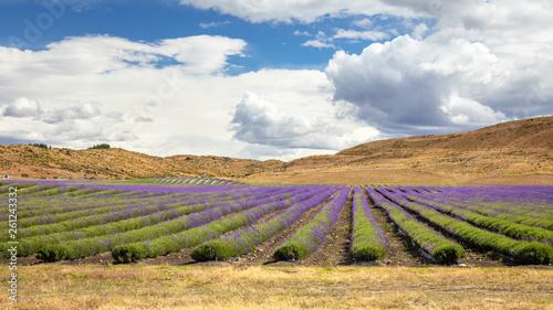 lavender field in New Zealand - 261243332