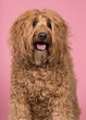 canvas print picture - Portrait of a labradoodle glancing away on a pink background with mouth open in a vertical image