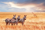 Group of wild zebras and jiraffe in the African savanna against the beautiful sunset. Wildlife of Africa. Tanzania. Serengeti national park. African landscape.