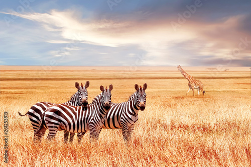 Group of wild zebras and jiraffe in the African savanna against the beautiful sunset. Wildlife of Africa. Tanzania. Serengeti national park. African landscape. - 261253913