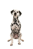 Dalmatian dog sitting isolated on a white background seen from the front