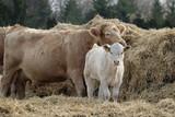 Rinder braun weiß am Heu